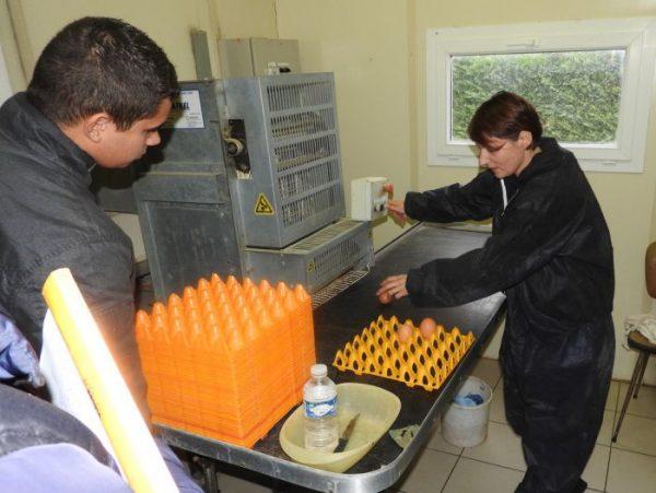 conditionnement œufs poules pondeuses oeufs-BIO