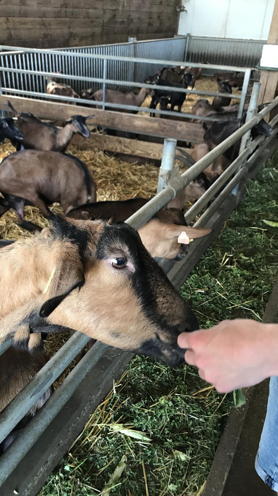 Alimentation des chèvres