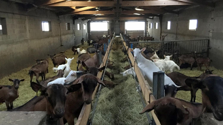 Après Capr'Inov visite élevage caprin